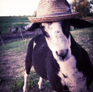 goat in a hat
