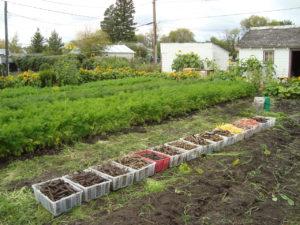 rainbow carrot field