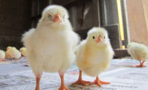 Chicks_Higher_Res