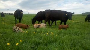 pigs and cows grazing
