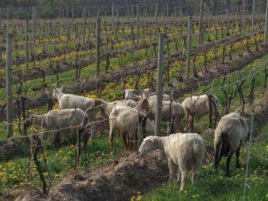 5-12-14 Ovines Vines