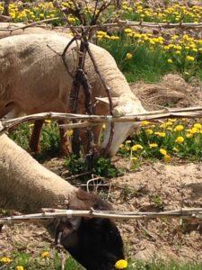Ovines- Sheep Grazing