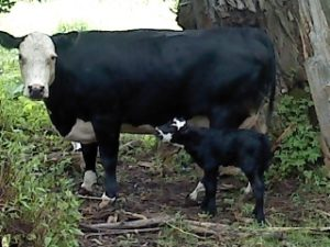small livestock cow and calf