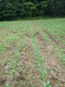 Corn field at Lucas Dairy LLC in Starksboro, Vermont planted using no-till equipment. Photo by UVM Extension
