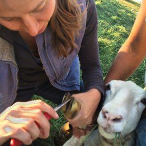 A ewe gets a foot trim. Photo by Georgia Ranney