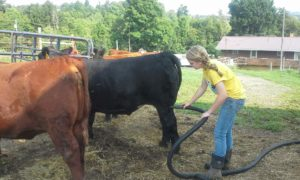 Pampered cow getting blow dried.