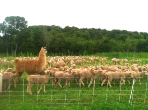 They may look pretty different, but your sheep share parasites with your guard llama (alpacas, too).