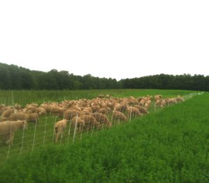 Rotational grazing can be a very important strategy for reducing parasite pressure, so long as fields get plenty of rest or are hayed before being re-grazed.