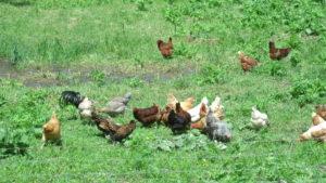 Livestock at Mulligan Creek Acres