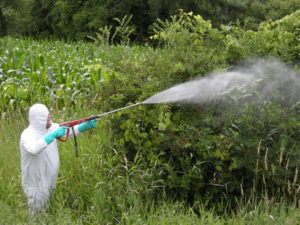 Foliar spray treatment of large plants has the potential for overspray onto nearby plants.  Be alert to the proximity of desired plants.  The treatment pictured is of glyphosate; the personal protective equipment (PPE) exceeds label recommendations, but can use additional PPE.  Picture by L. Merle