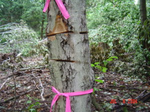 All types of girdle treatments need to fully disconnect the foliage from the roots.  Even a narrow missed section, as illustrated, can allow a tree to survive.