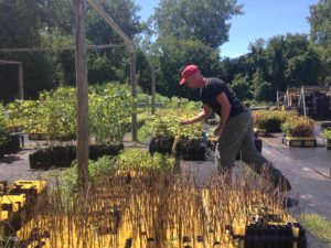 Mike Ingall's reaches for one of the Intervale Conservation Nursery's popular trees, the alder can take higher levels of pollution than other species and is good nitrogen fixer. Photo by Rachel Carter.