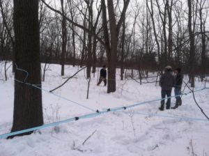 A tubing system installed at a walnut grove in Syracuse. More research is necessary to determine the impact of collecting walnut sap under high-vacuum conditions. Photo by Michael Farrell.