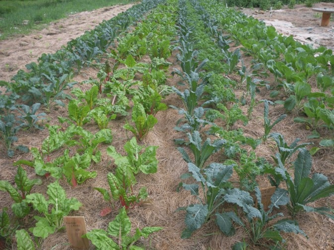 swiss chard, vegetables, row crops