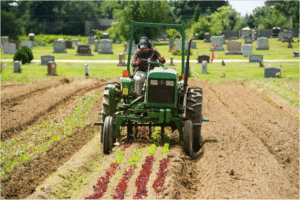 Cultivating lettuce on permanent beds. Note 2 beds on right prepped for cover crops. (Turner)