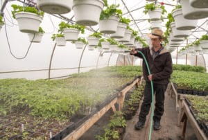 Nelson Hoover, a Mennonite farmer from Penn Yan, New York who conducts research trials with Cornell Cooperative Extension educators, waters grafted tomatoes in one of his two greenhouses.