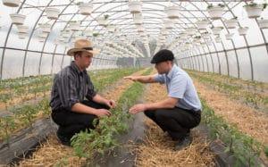 Old Order farmer Nelson Hoover and Cornell Vegetable Program Educator Judson Reid evaluate a high tunnel tomato plot at Hoover's Penn Yan, New York farm.