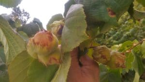 Hybrid hazel trees with jumbo grade sized nuts are successfully grown without pesticides or fungicides in USDA zones 4b/5a, in the Finger Lakes region of New York.