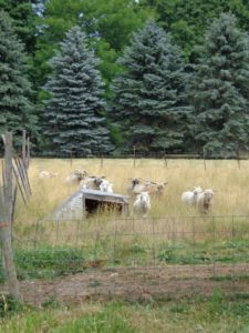 Goats out for pasture at Laughing Goat Fiber Farm