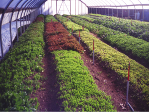 Hoophouse salad green production (photo: Baruc)