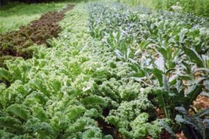 Kale at Seeds of Solidarity Farm (image from NESARE report)