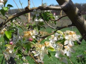 Apple tree damaged by frost 2012 (Photo by Gregory Michael Peck)