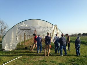 Putting the finishing touches on a high tunnel intended for table grapes at the University of Arkansas research farm. Note the grape trellis already in place. Building trellises is best done before the tunnel goes up. Photo: Susan Alman, University of Arkansas