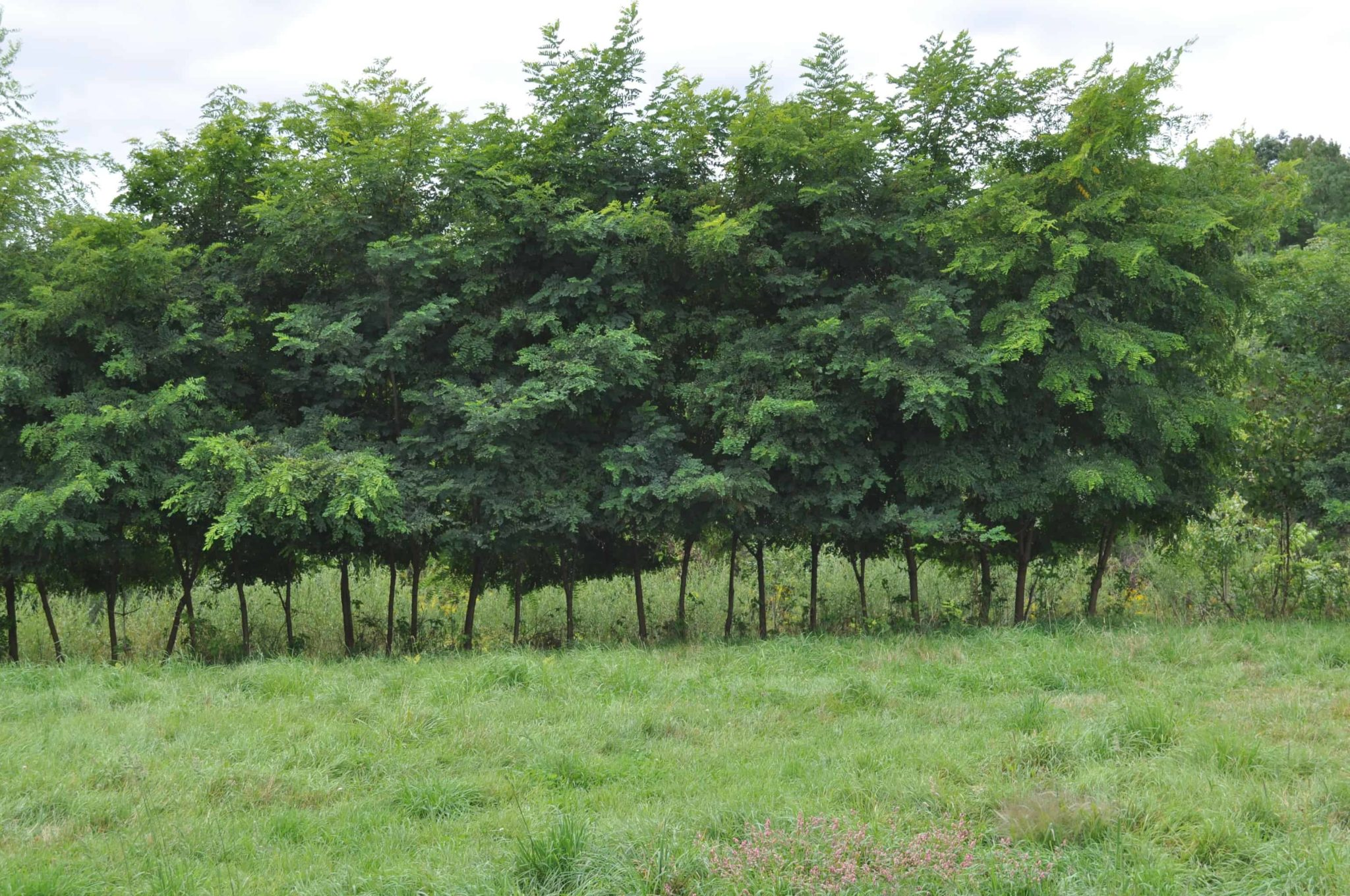Black Locust: A Tree with Many Uses - Cornell Small Farms
