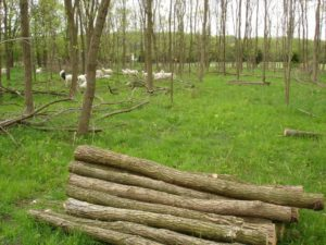 black locust logs