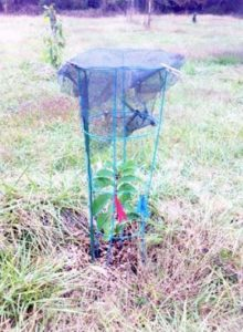pawpaw seedling