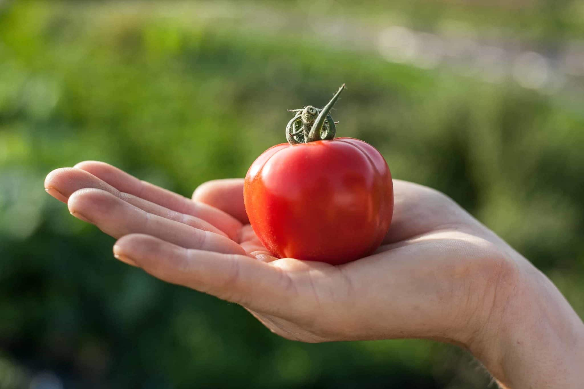 a small red tomato in a hand