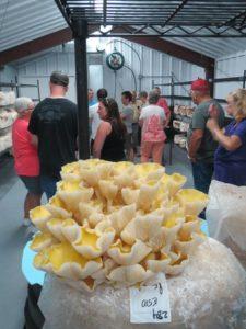 Golden Oyster Mushrooms