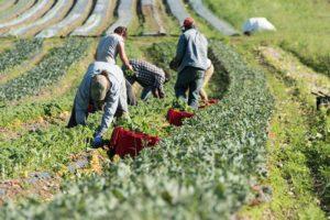 Farm workers harvesting crops.