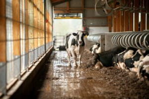 cow in a dairy barn