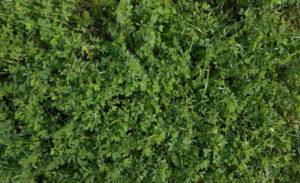 Alfalfa Mix