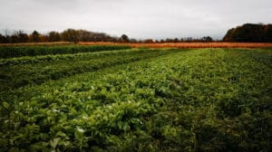 A green field of cover crops