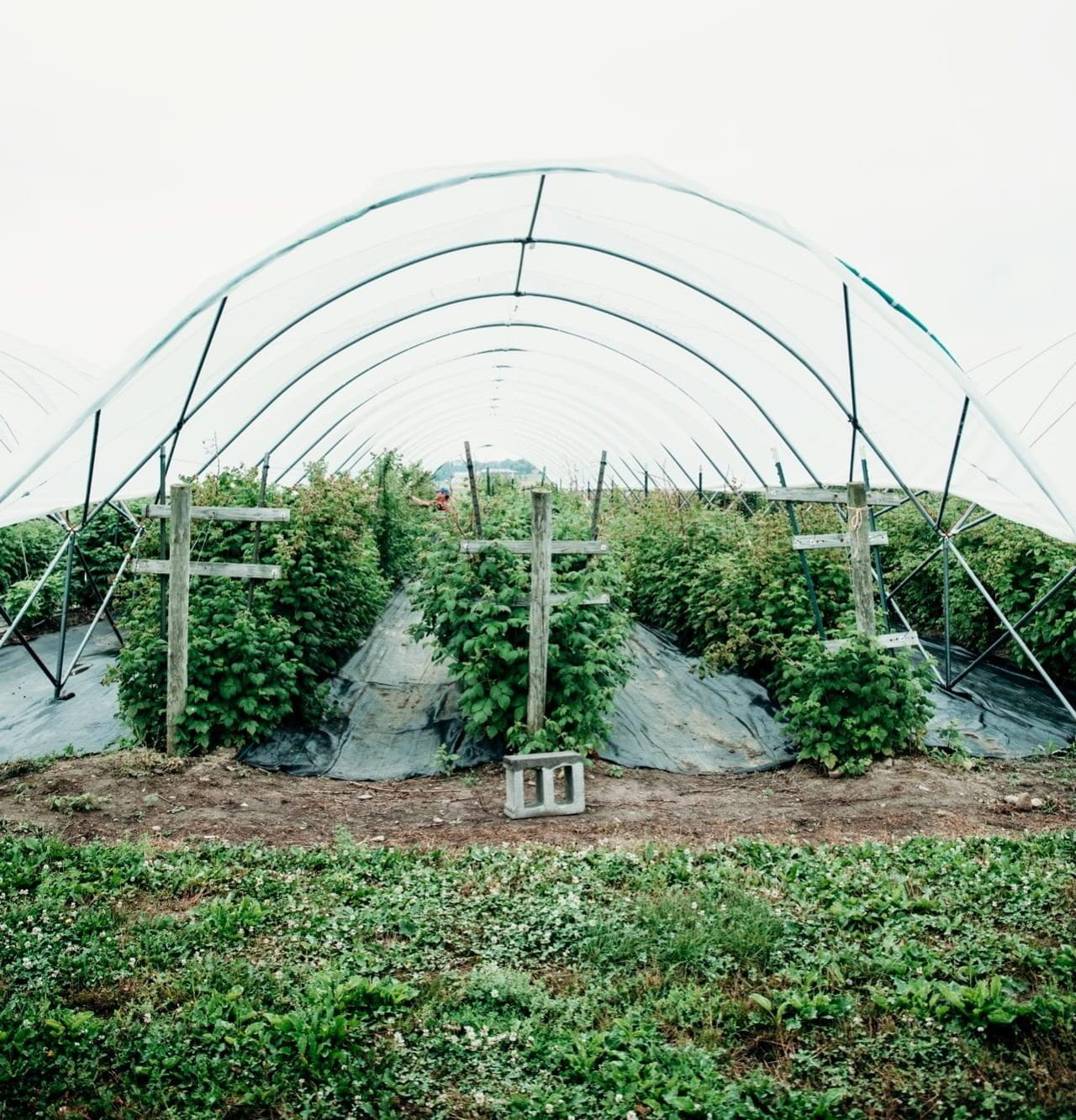 Raspberry plants in a high tunnel.