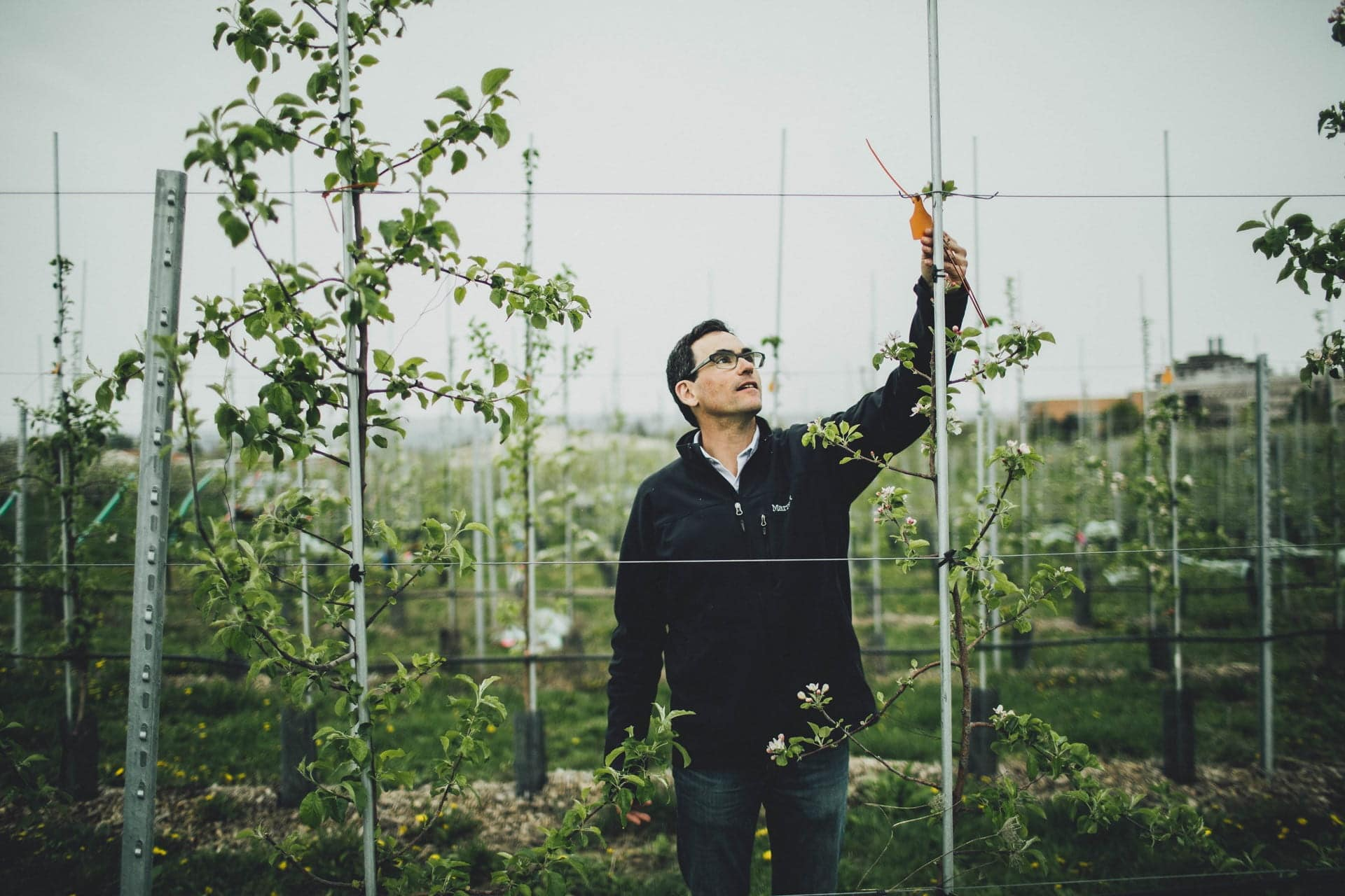 A person stands in an apple orchard reaching upwards