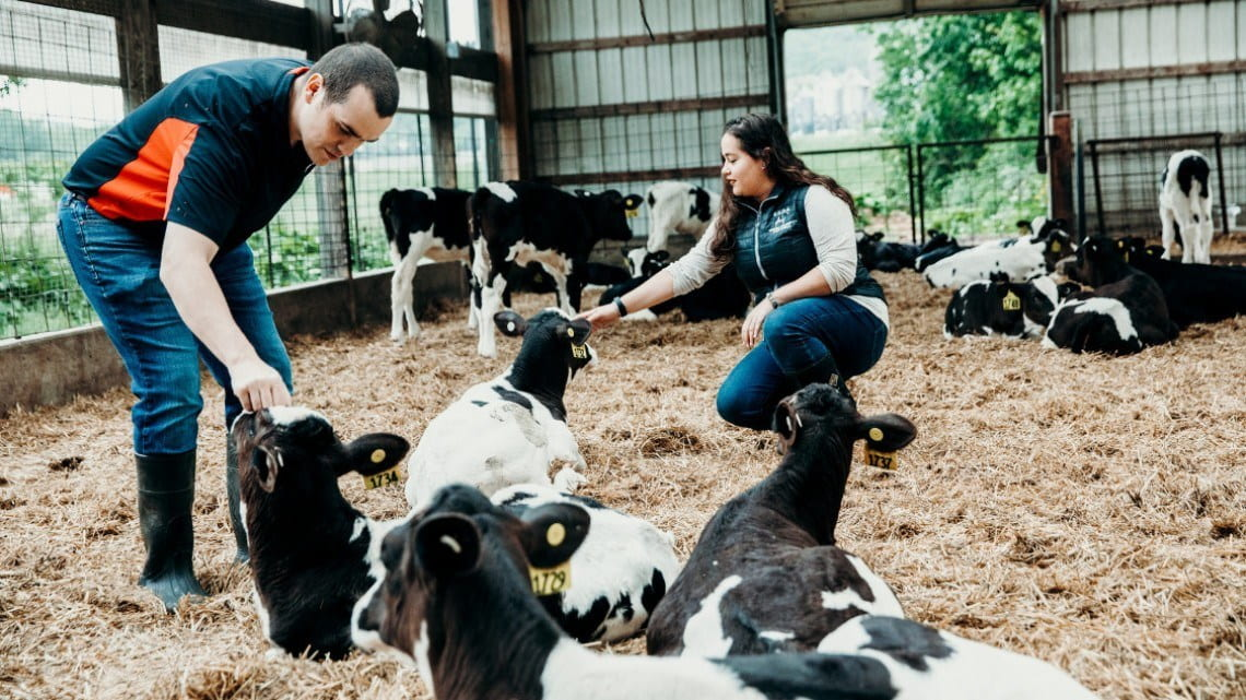 Two people stand in a barn with dairy cows, some of which are lying on the ground.