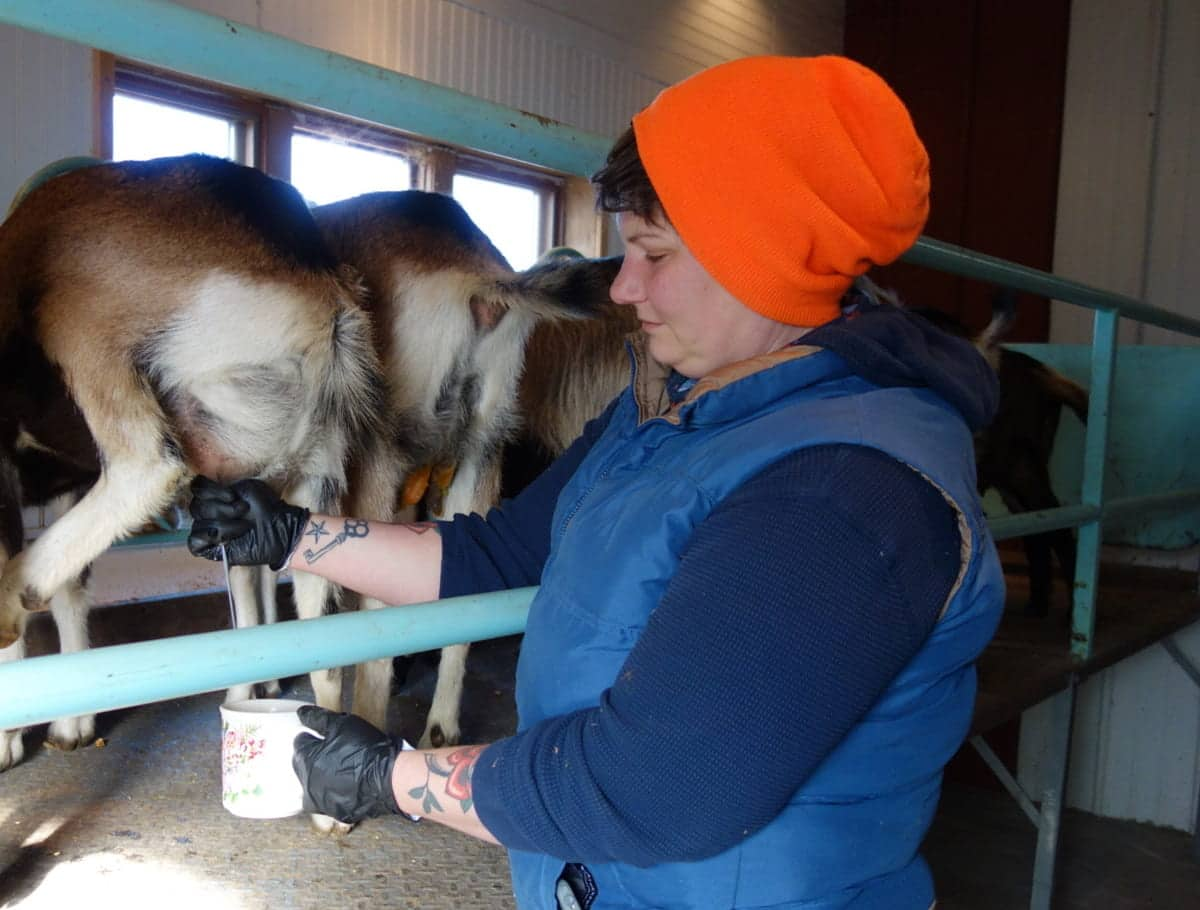 A person in an orange hat milking goats.