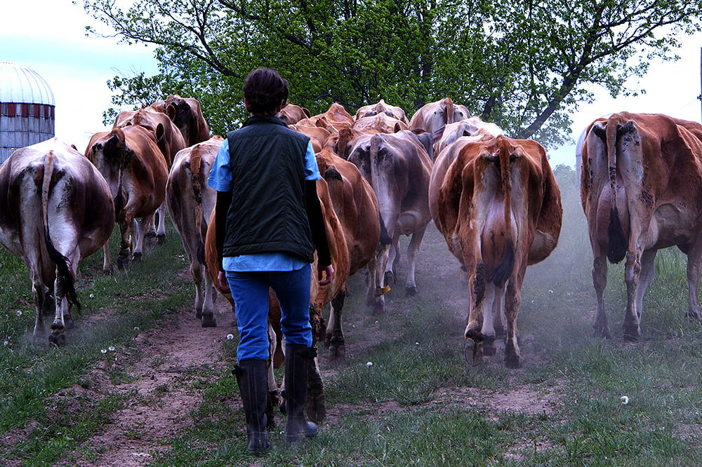 A person walks behind a herd of cattle.