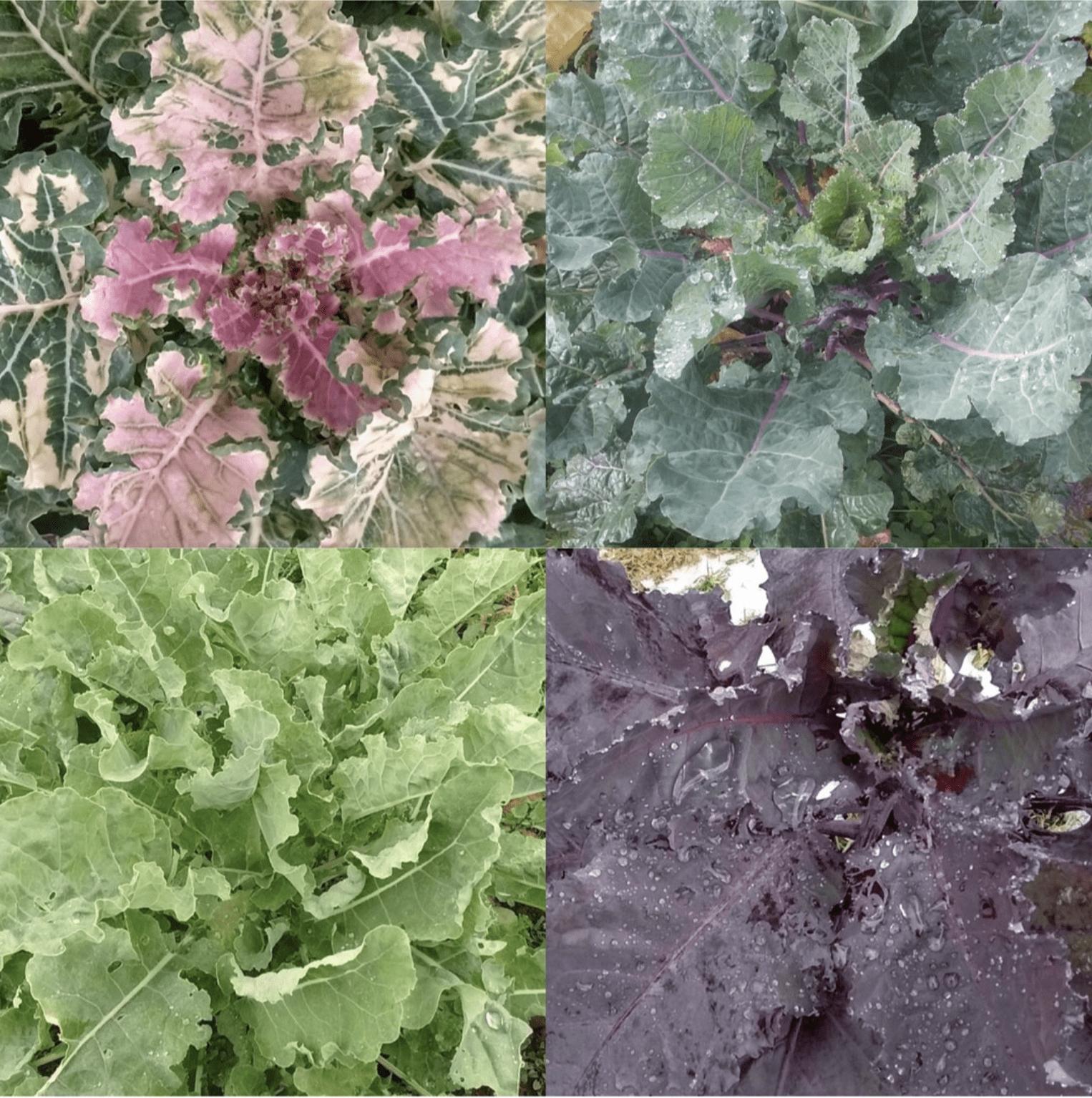 Amalgamation of four different photos of kale.