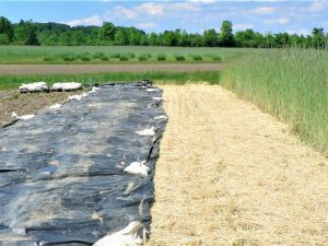 Pre-plant tarps can be an alternative to tillage for weed control. (Freeville, NY)