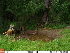 coyote woods