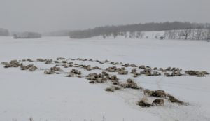 flock feeding hay snow