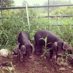 sfq pigs