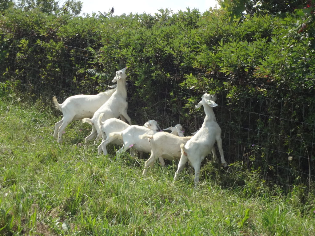 Goats Browse Grazing Ulf