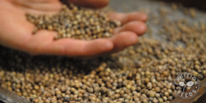 seed saving fruition seeds SFQ cilantro