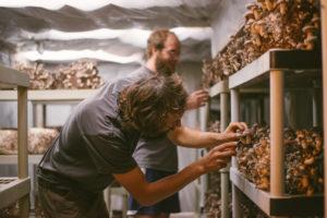 indoor mushroom harvest
