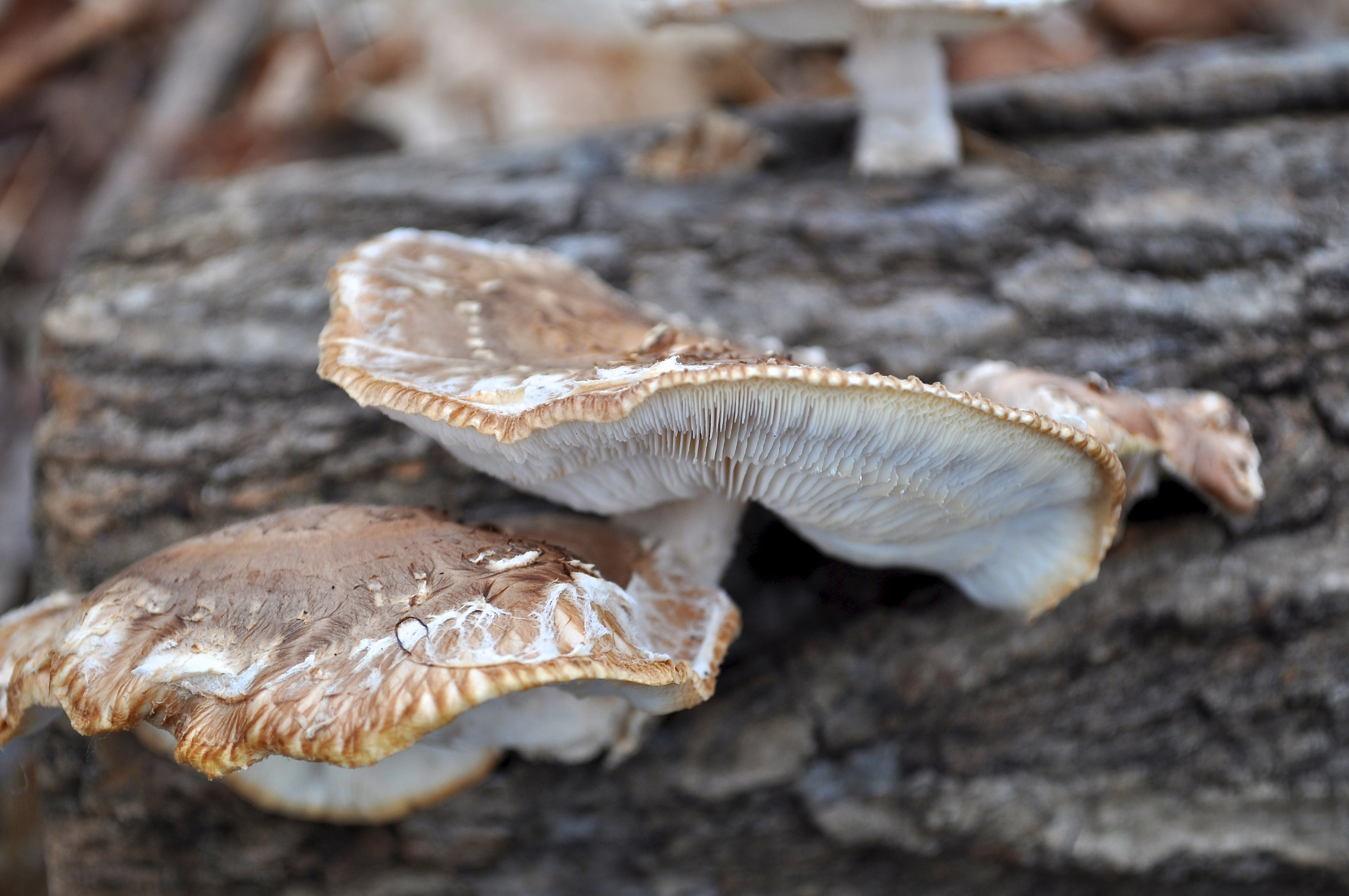 When the shiitake flattens out and no longer has curled edges, it is over ripe.